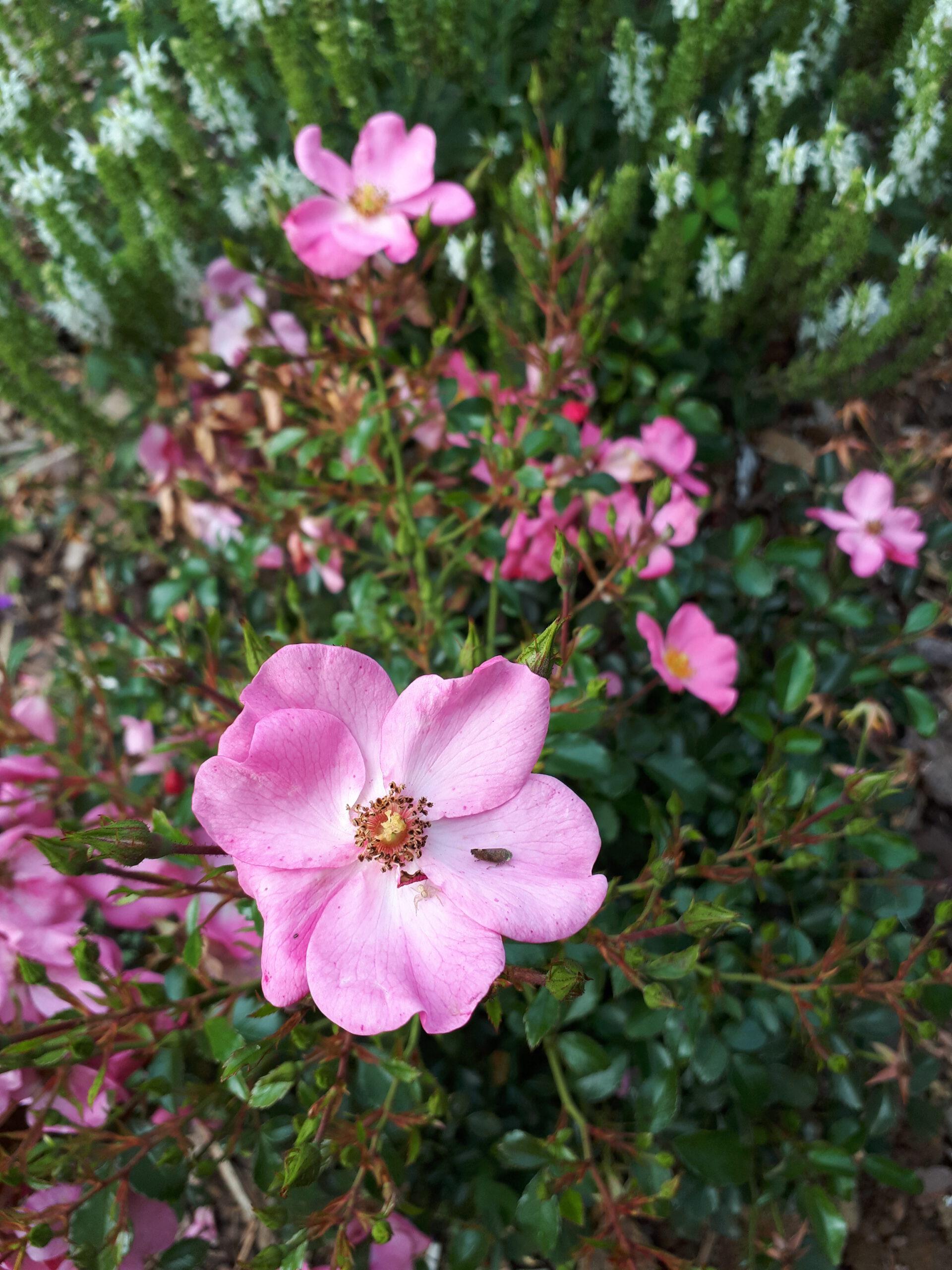 Meine Rosensorten, hier die Kleinstrauchrose Sweet Haze.