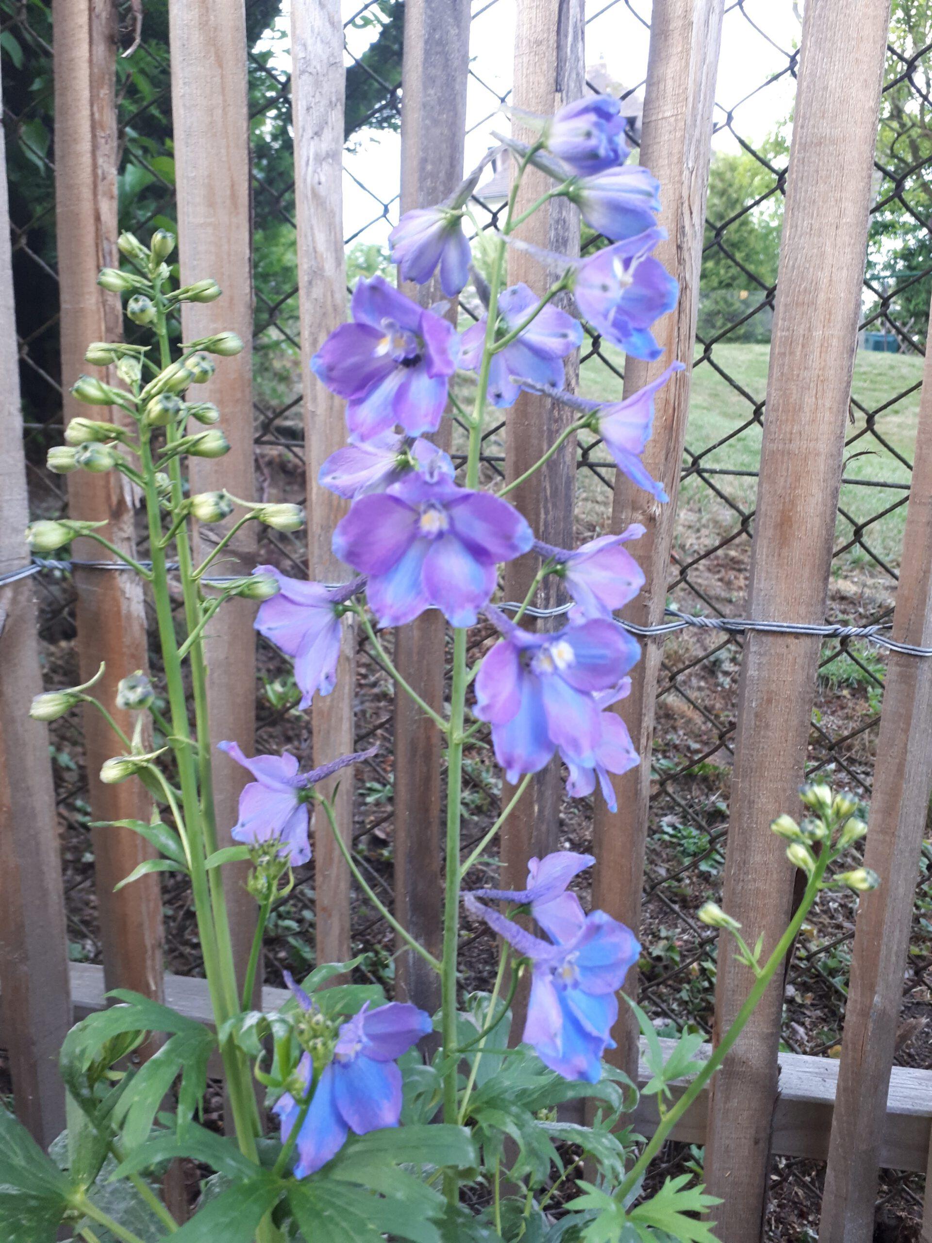 Rittersporn als Rosenbegleiter, hier in Blau.