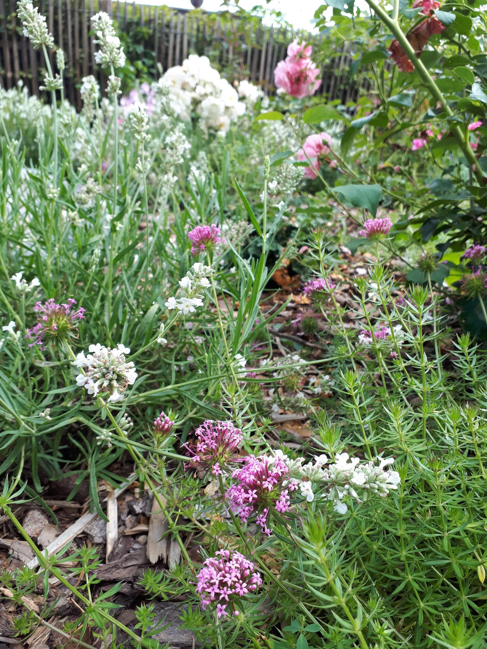 Weißer Lavendel und der bodendeckende Rosenwaldmeister als Rosenbegleiter.