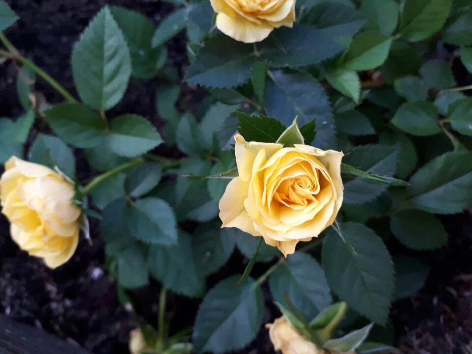 Meine Rosensorten, hier die Zwergrose Guletta.