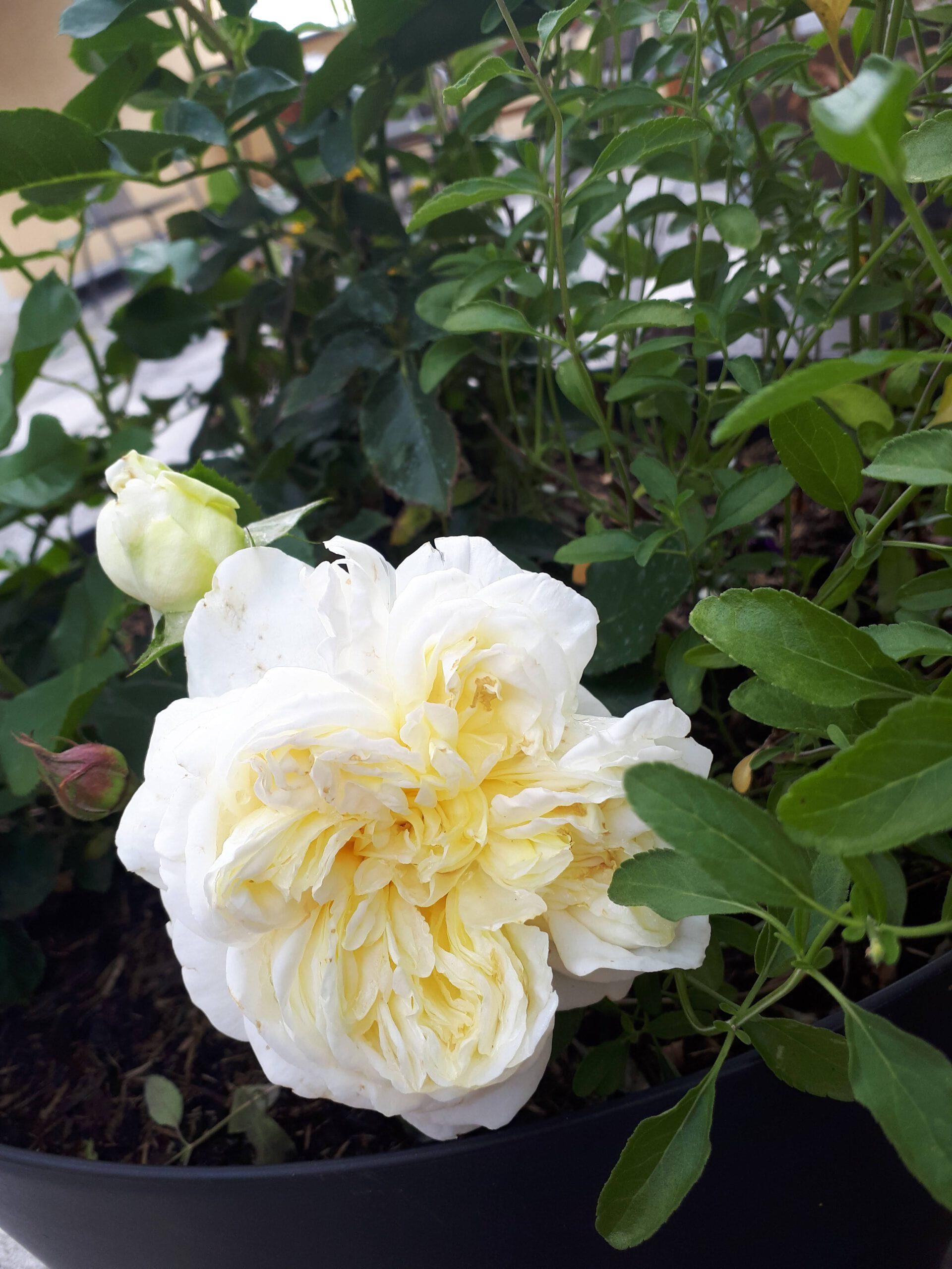 Meine Rosensorten, hier die Beetrose Kronprinzessin Mary in cremweiß bis zitronengelb