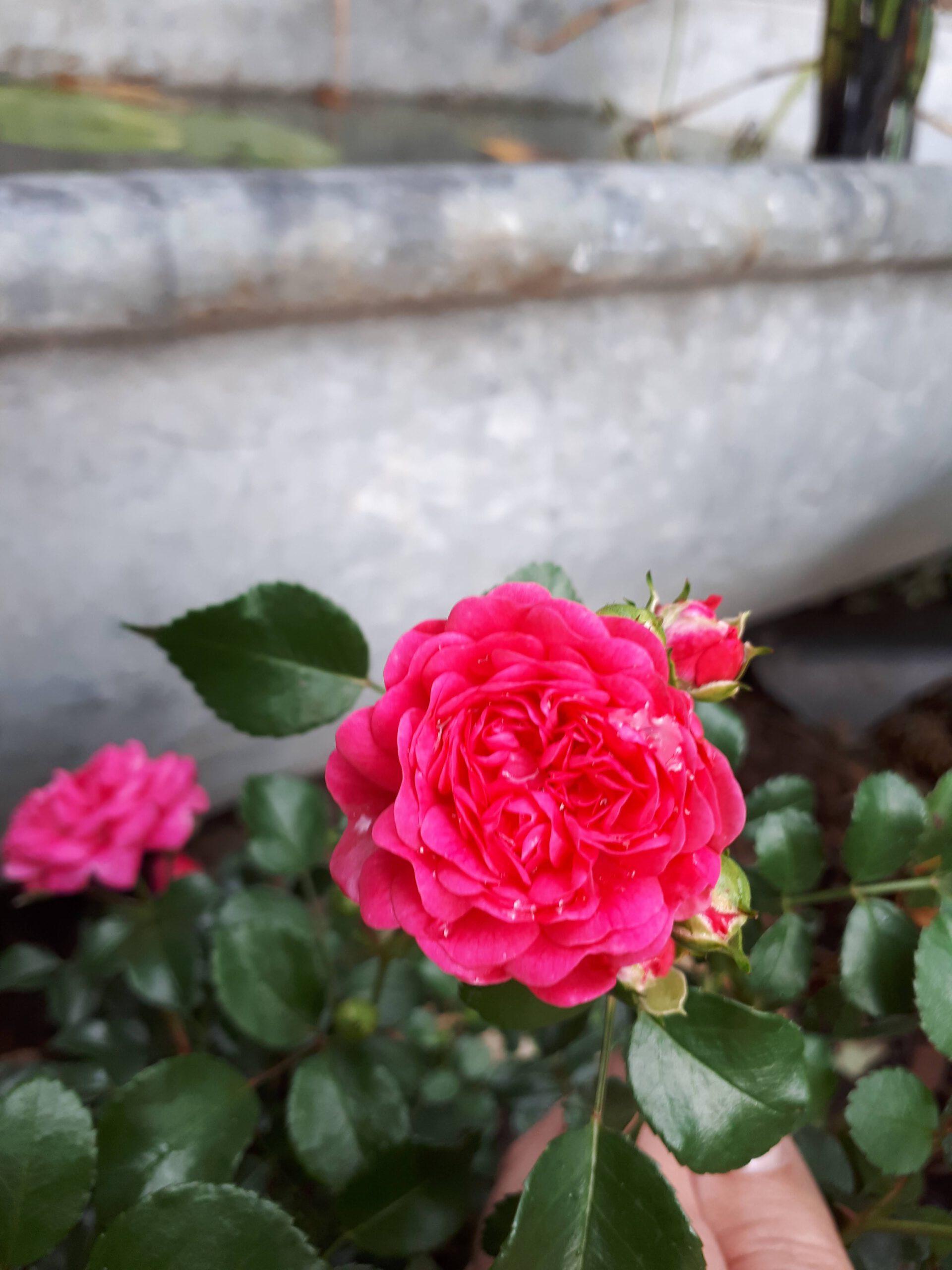 Meine Rosensorten, hier die Zwergrose Pepita in kräftigem Pink.