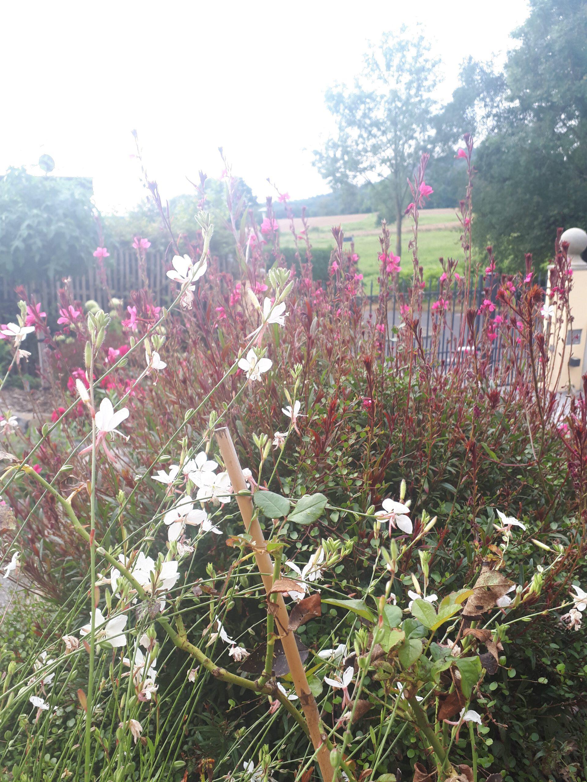Die Prachtkerze ist ein unermüdlicher Dauerblüher bis in den Herbst. Als Rosenbegleiter versprüht sie Leichtigkeit und ist unaufdringlich neben der Königin der Blumen..