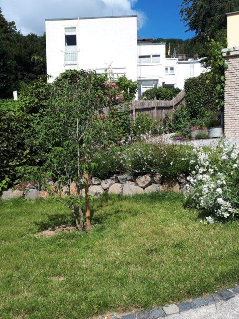 Der Blumenhartriegel Stellar Pink als Solitär im weißen Garten.