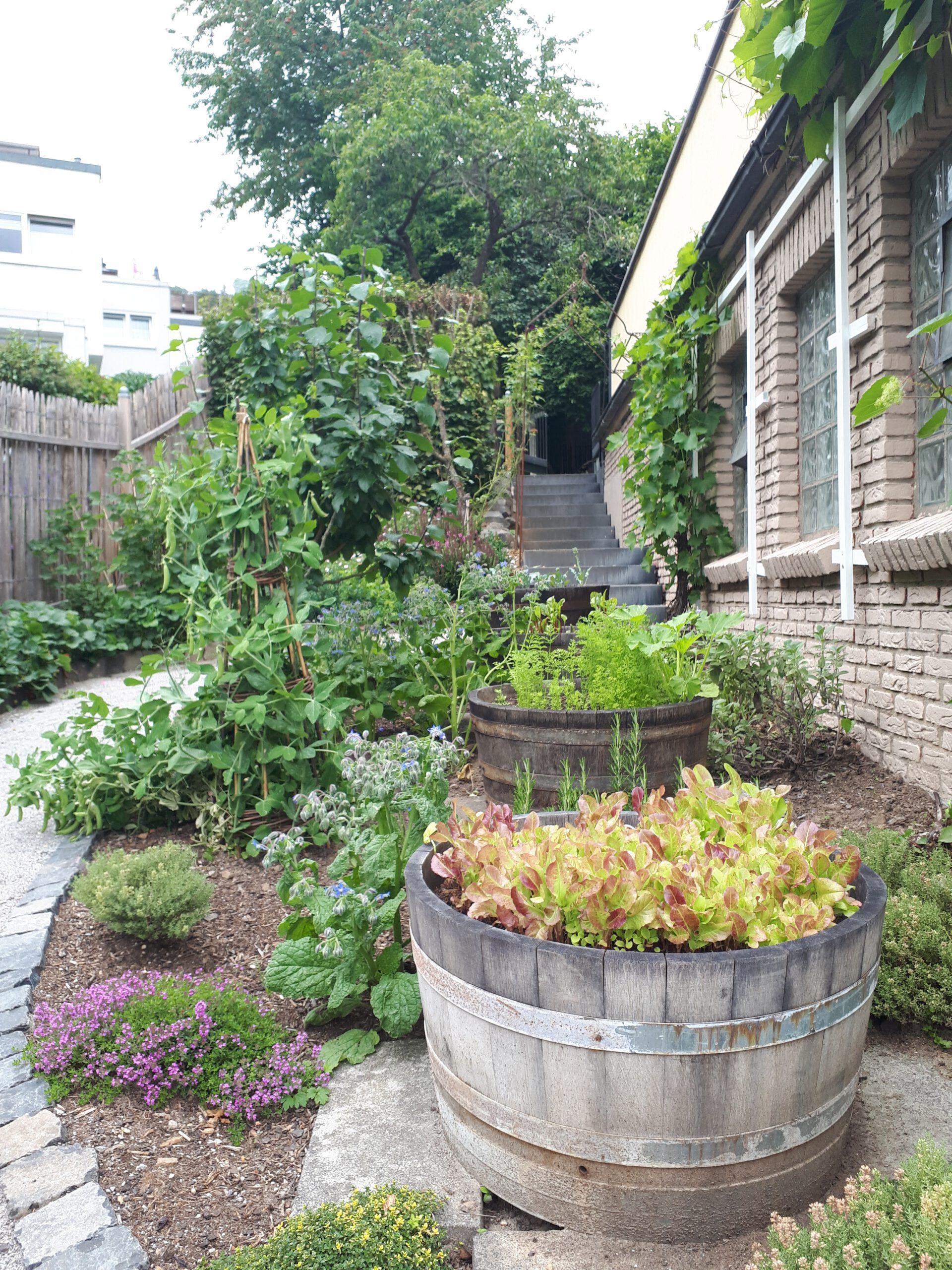 Der Küchengarten mit halbierten Weinfässern als Hochbeete und Kräutern zwischen den Fässern.