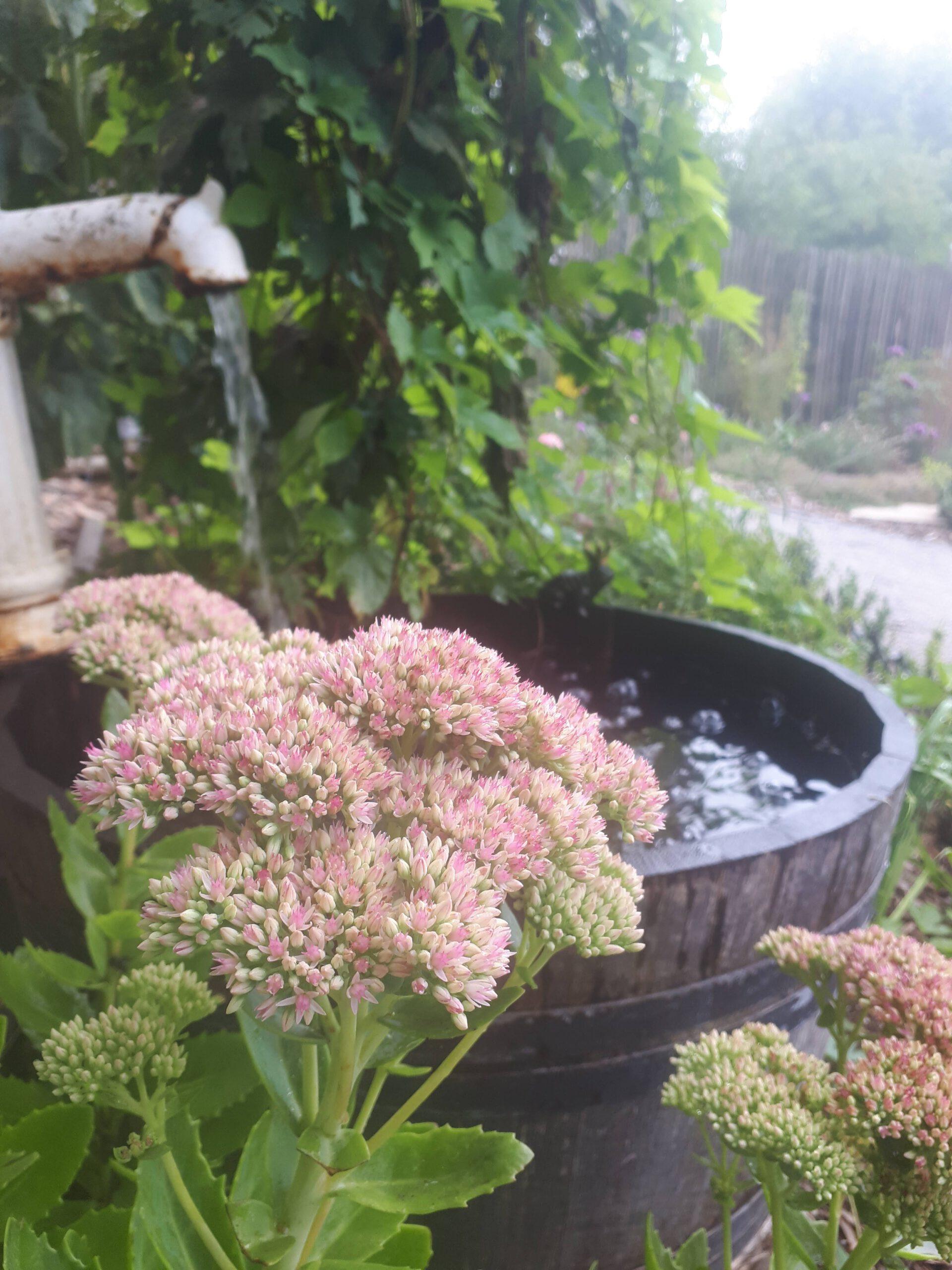 Ein halbiertes Weinfass mit alter Wasserpumpe für romantische Wasserspiele im Garten. Im Vordergrund blüht eine Fetthenne als beliebte Staude..