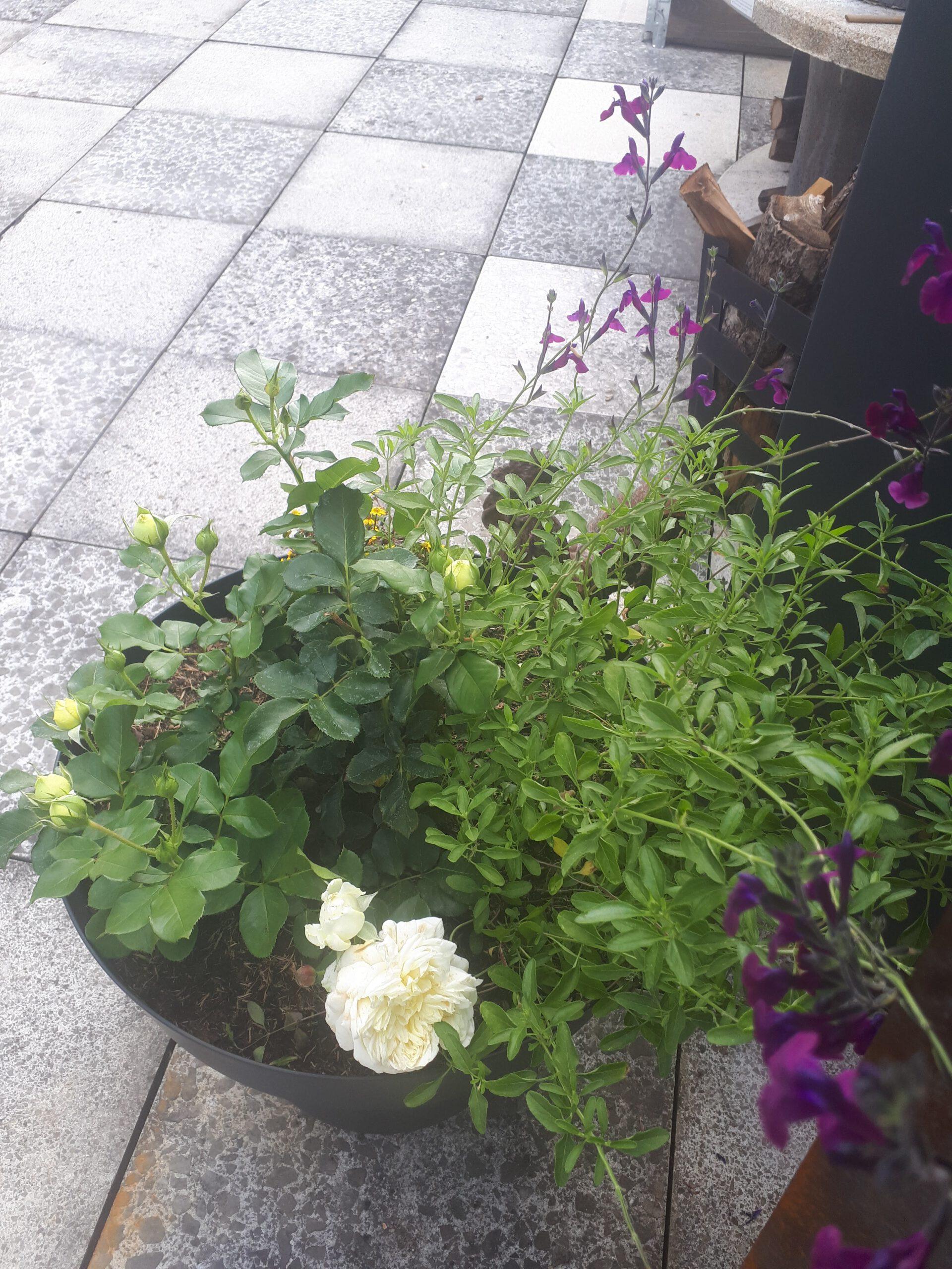 Die Rose im Pflanzkübel auf der Terrasse