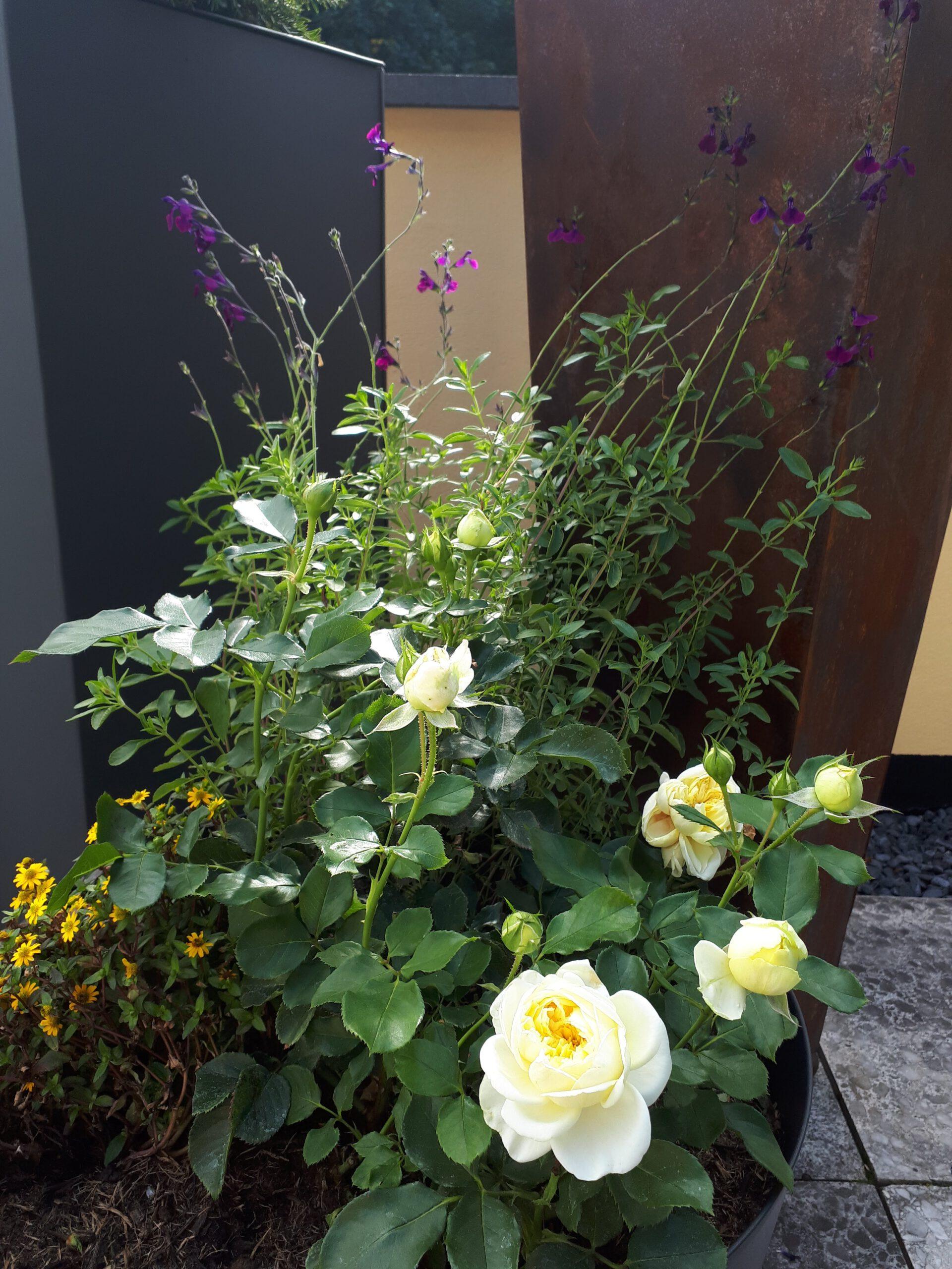 Die Rose Kronprinzessin Mary im Pflanzkübel auf der Terrasse