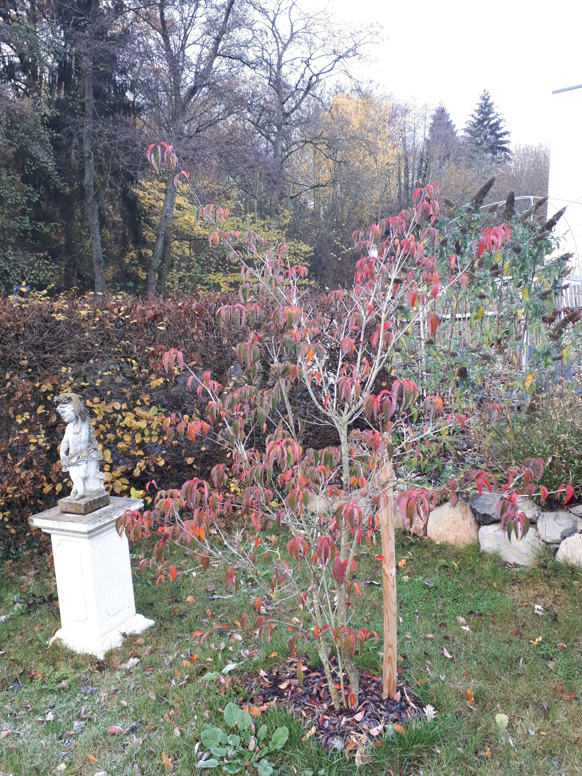 Die Herbstfärbung des Blumenhartriegel Stellar Pink ist beeindruckend schön.